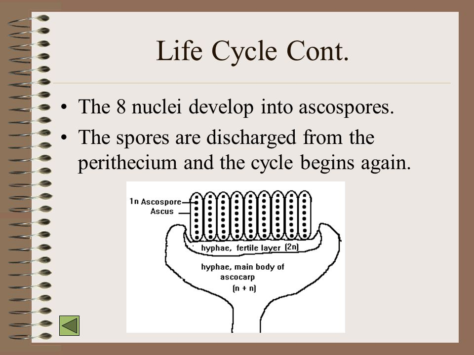 Life Cycle Cont. The 8 nuclei develop into ascospores.