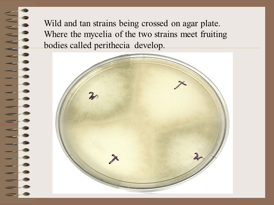 Wild and tan strains being crossed on agar plate