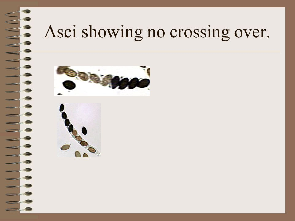 Asci showing no crossing over.