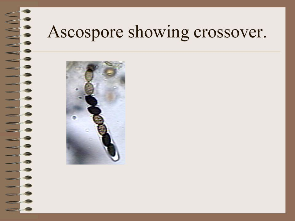 Ascospore showing crossover.