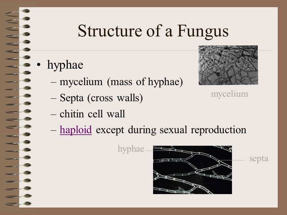 Structure of a Fungus hyphae mycelium (mass of hyphae)