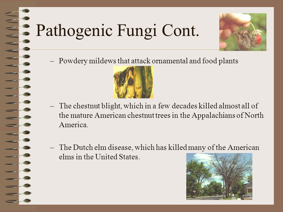 Pathogenic Fungi Cont. Powdery mildews that attack ornamental and food plants.
