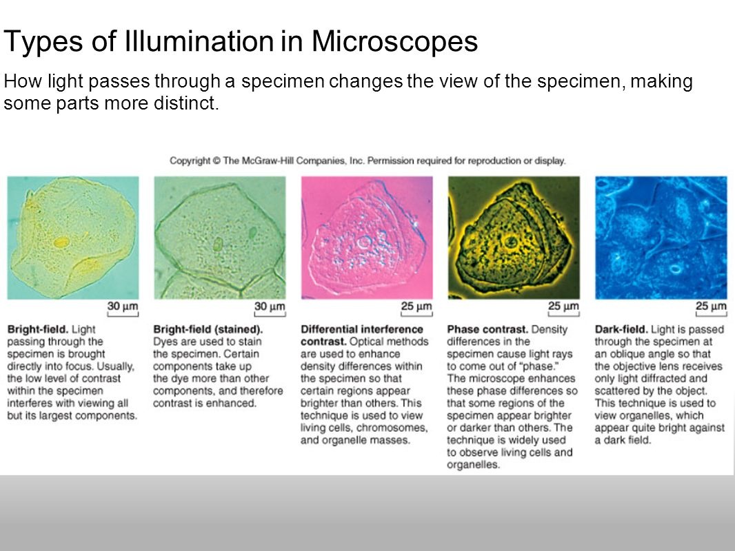 Types of Illumination in Microscopes How light passes through a specimen changes the view of the specimen, making some parts more distinct.