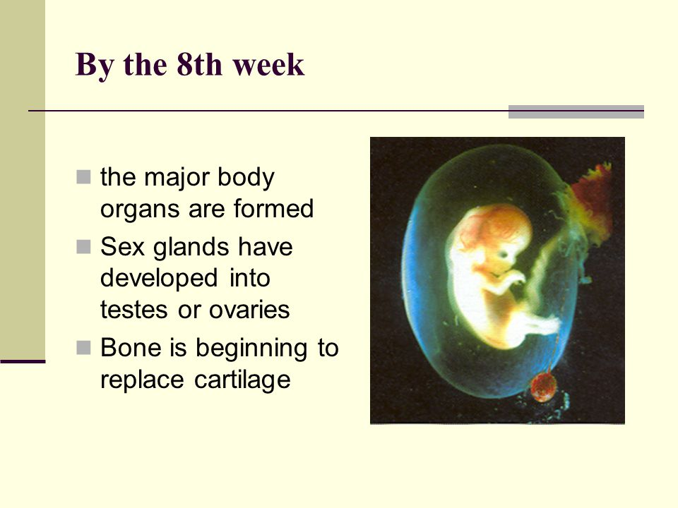 By the 8th week the major body organs are formed