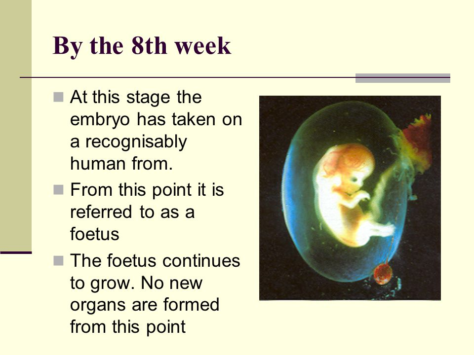 By the 8th week At this stage the embryo has taken on a recognisably human from. From this point it is referred to as a foetus.