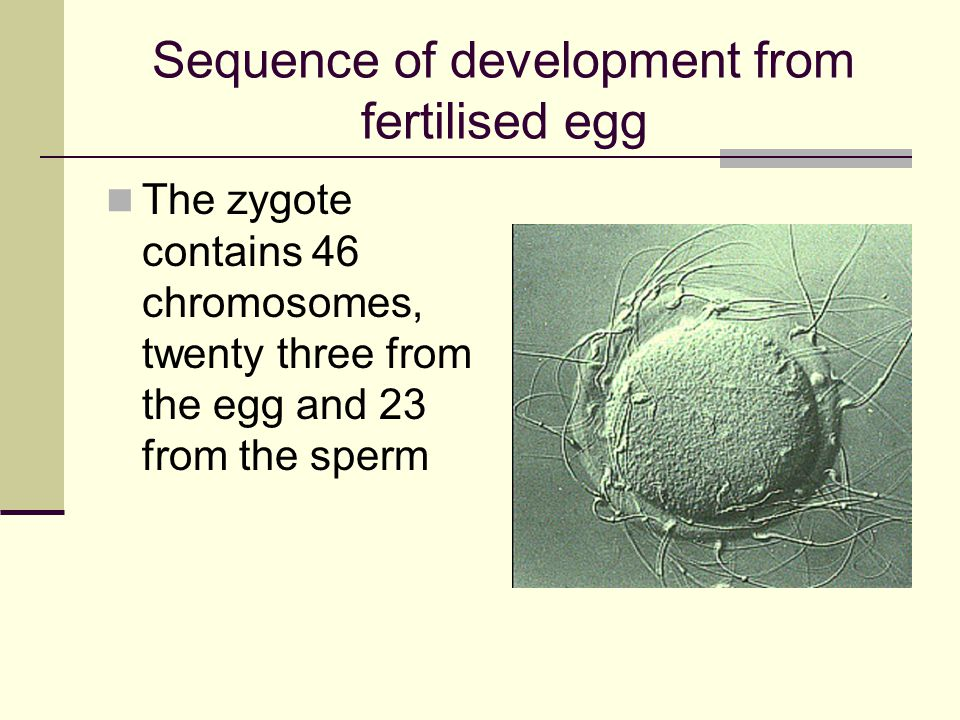 Sequence of development from fertilised egg