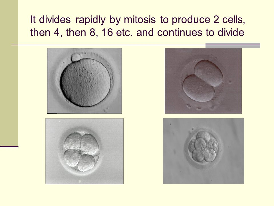 It divides rapidly by mitosis to produce 2 cells, then 4, then 8, 16 etc. and continues to divide