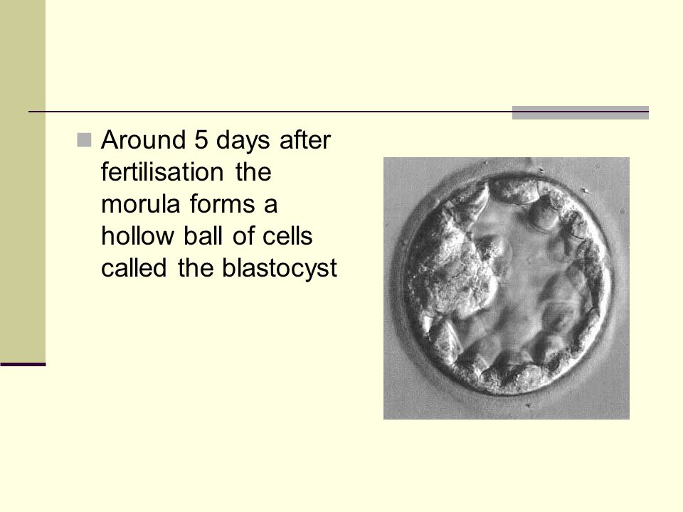 Around 5 days after fertilisation the morula forms a hollow ball of cells called the blastocyst
