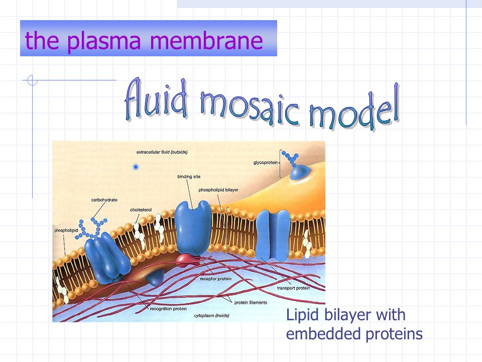 the plasma membrane fluid mosaic model
