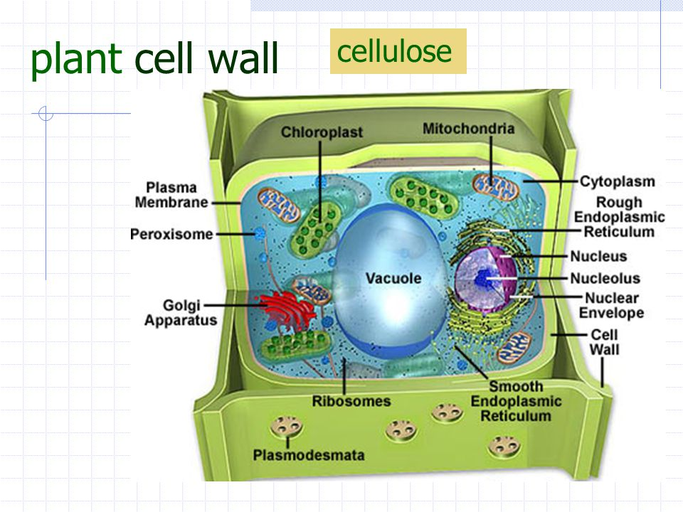 plant cell wall cellulose