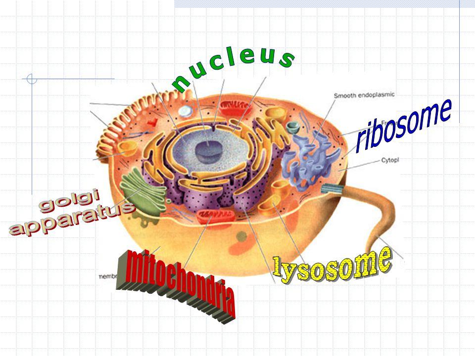 nucleus ribosome golgi apparatus lysosome mitochondria