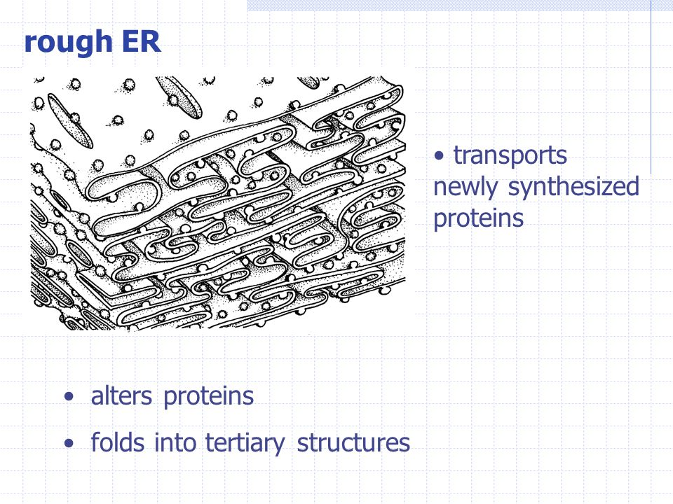 rough ER transports newly synthesized proteins alters proteins