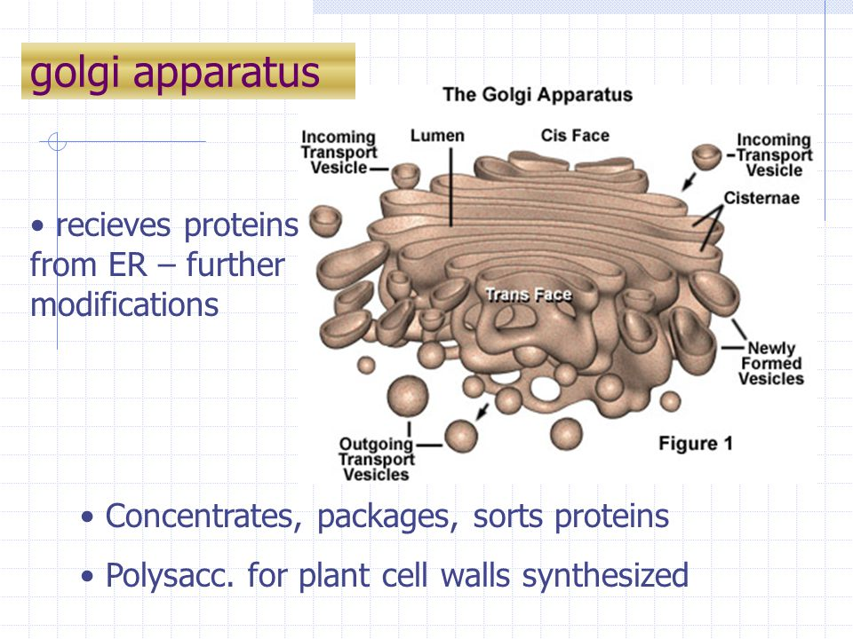 golgi apparatus recieves proteins from ER – further modifications