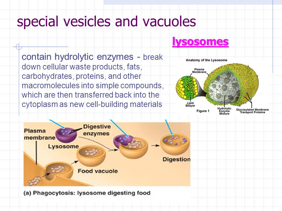 special vesicles and vacuoles