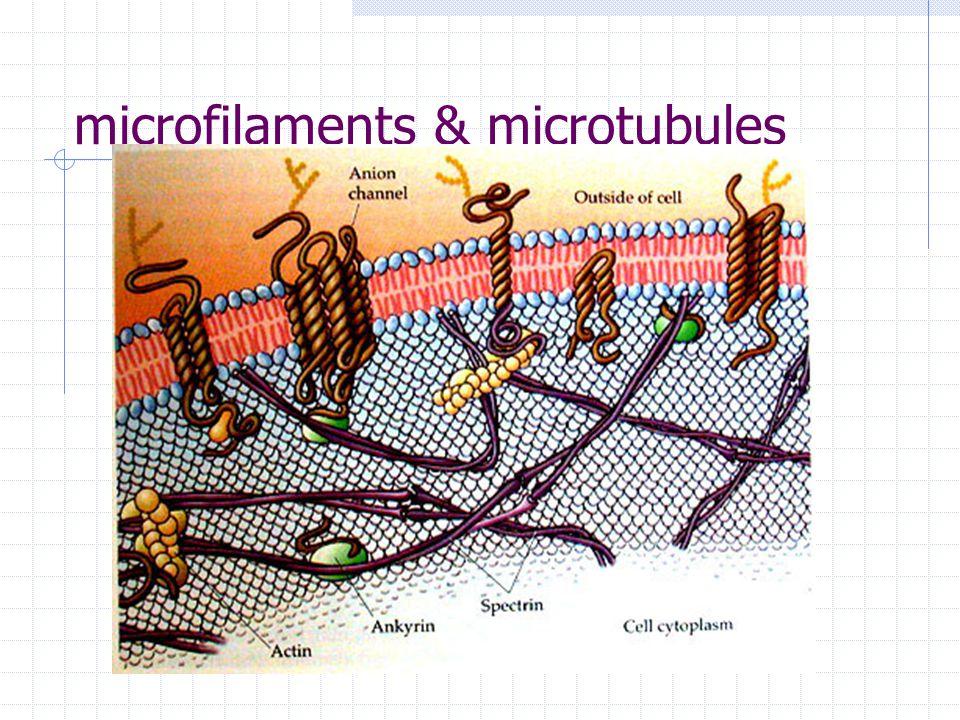 microfilaments & microtubules
