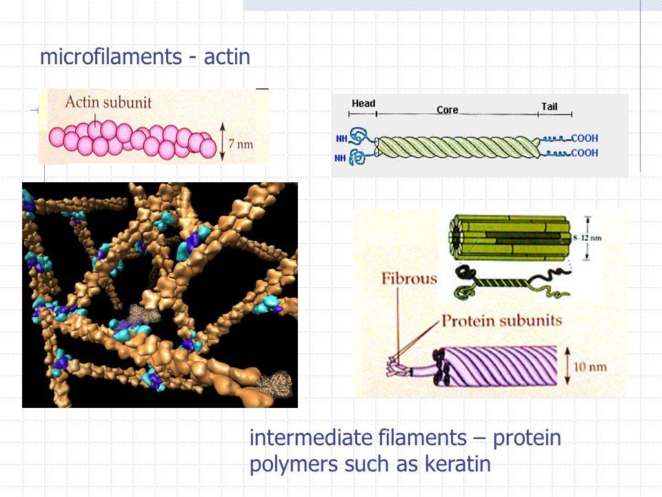 microfilaments - actin
