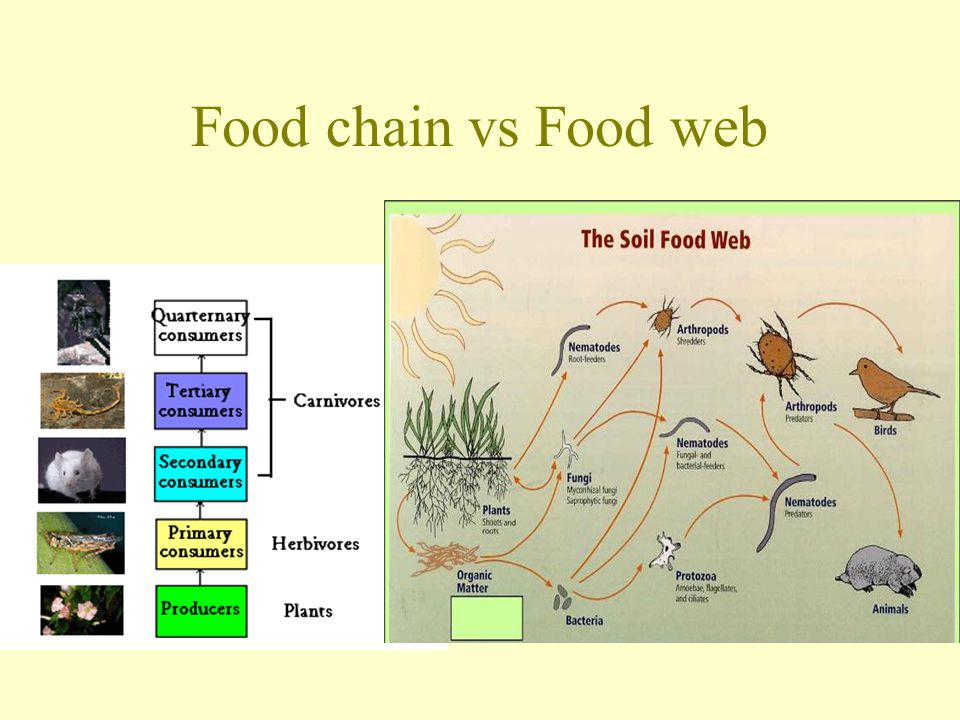 Food chain vs Food web