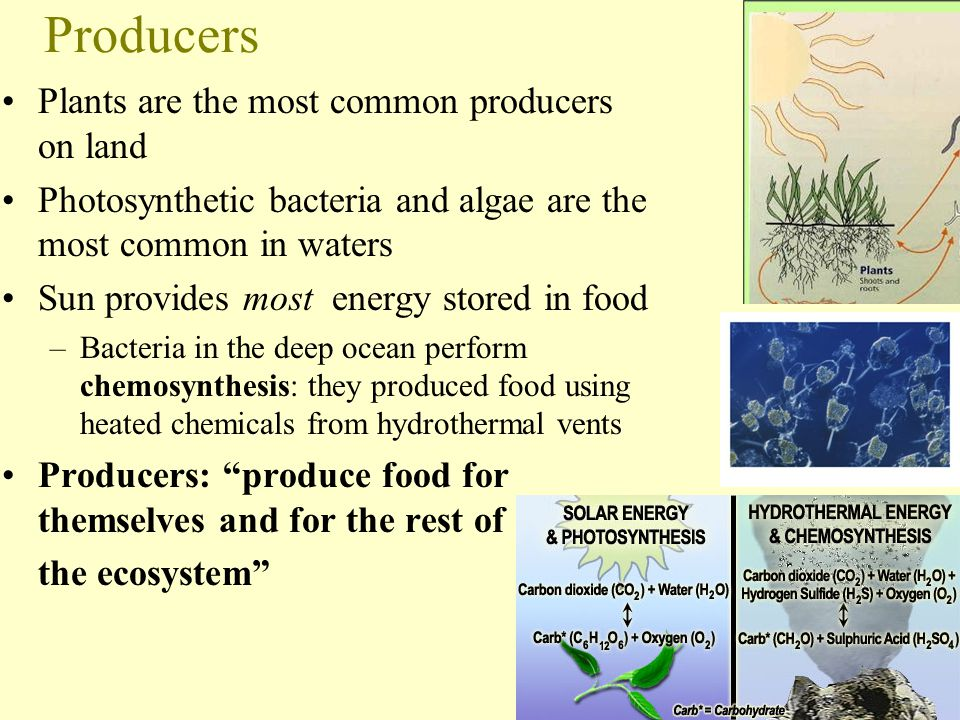 Producers Plants are the most common producers on land