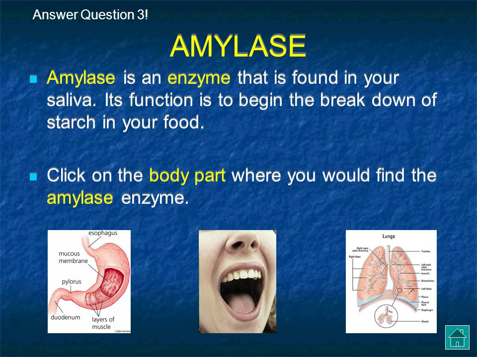 Answer Question 3! AMYLASE. Amylase is an enzyme that is found in your saliva. Its function is to begin the break down of starch in your food.