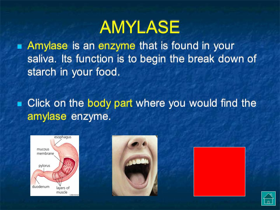 AMYLASE Amylase is an enzyme that is found in your saliva. Its function is to begin the break down of starch in your food.