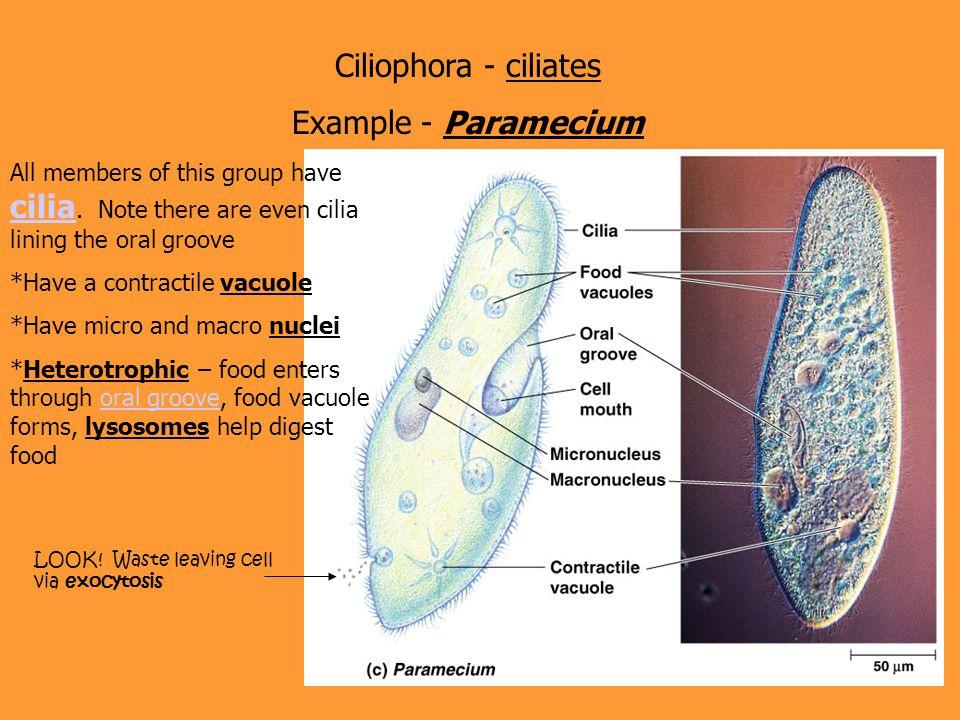 Ciliophora - ciliates Example - Paramecium