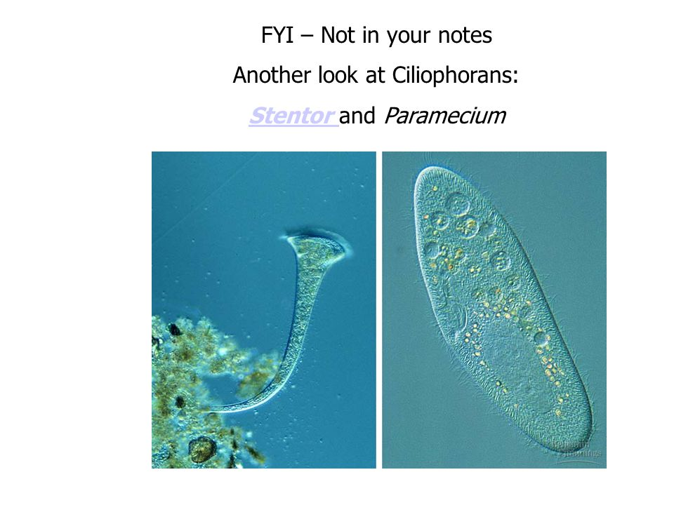 Another look at Ciliophorans: Stentor and Paramecium