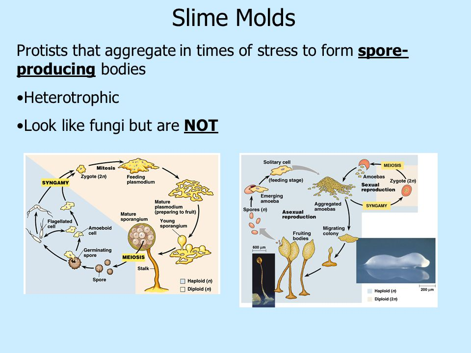 Slime Molds Protists that aggregate in times of stress to form spore-producing bodies. Heterotrophic.