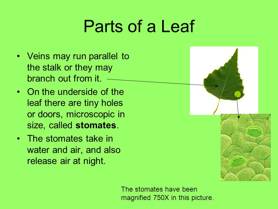 Parts of a Leaf Veins may run parallel to the stalk or they may branch out from it.