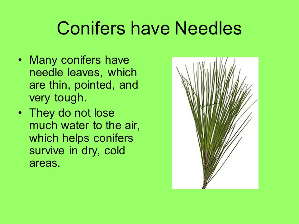 Conifers have Needles Many conifers have needle leaves, which are thin, pointed, and very tough.