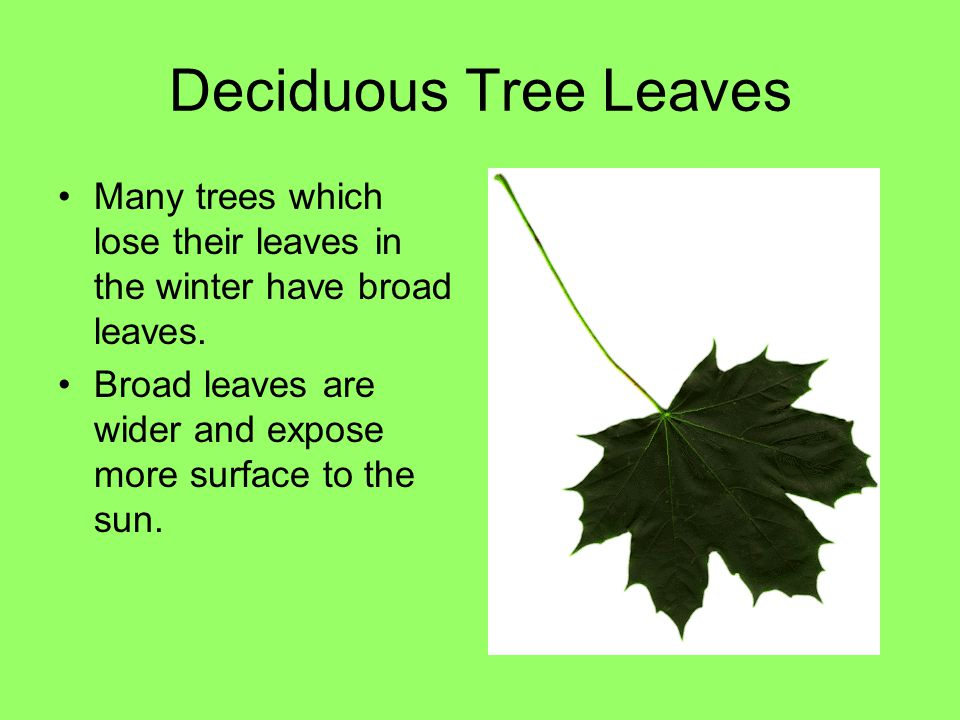 Deciduous Tree Leaves Many trees which lose their leaves in the winter have broad leaves. Broad leaves are wider and expose more surface to the sun.
