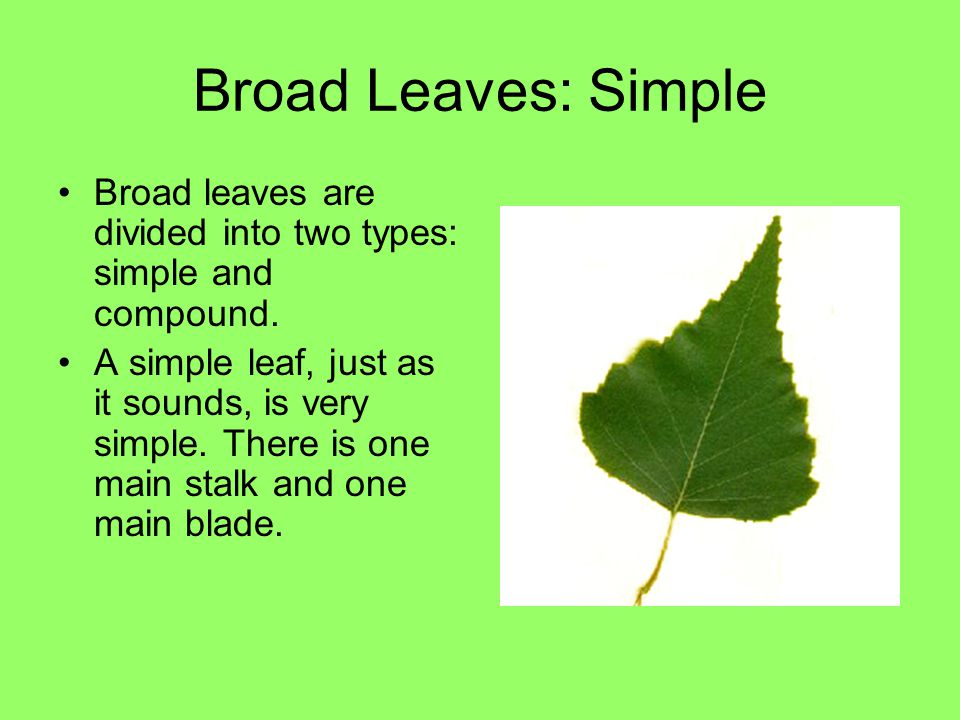 Broad Leaves: Simple Broad leaves are divided into two types: simple and compound.