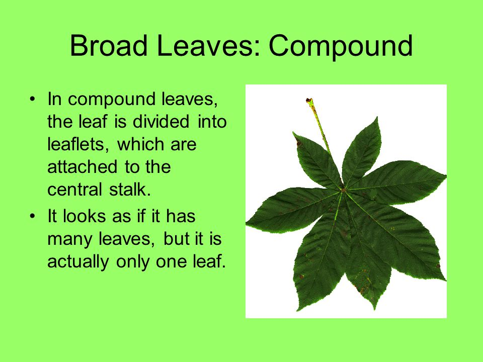 Broad Leaves: Compound