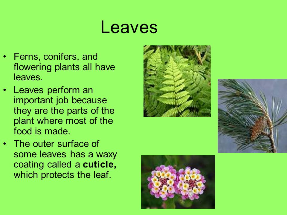 What Is A Leaf Ppt Download