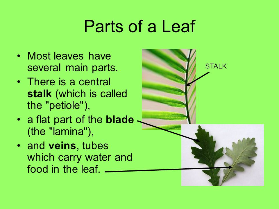 Parts of a Leaf Most leaves have several main parts.