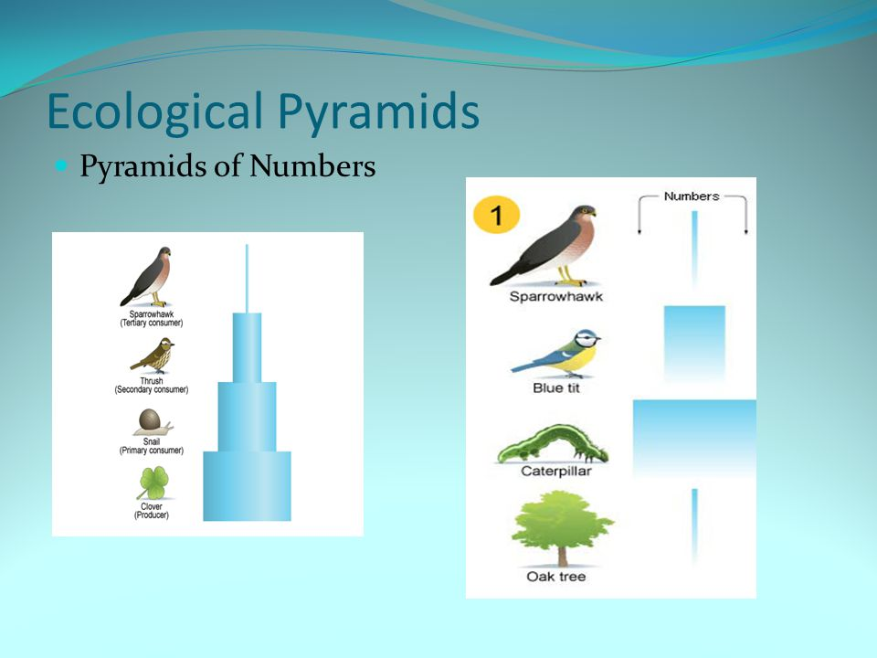 Ecological Pyramids Pyramids of Numbers