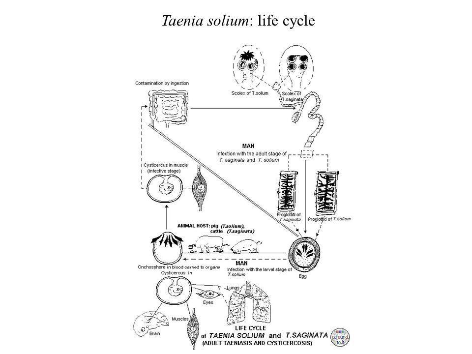 Taenia solium: life cycle
