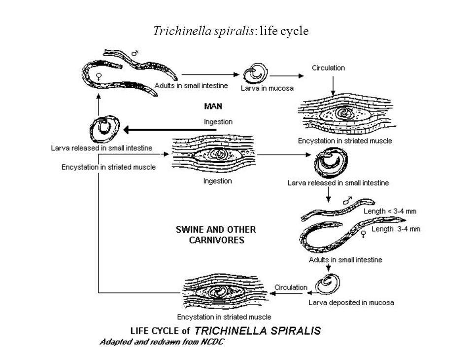 Trichinella spiralis: life cycle