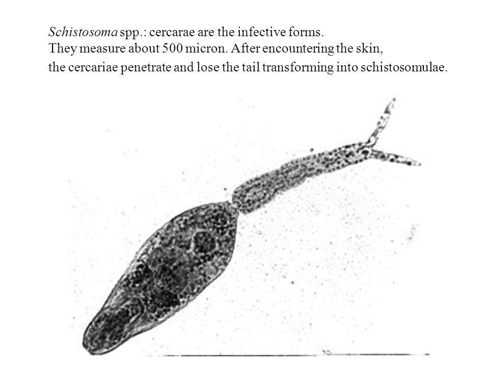 Schistosoma spp. : cercarae are the infective forms