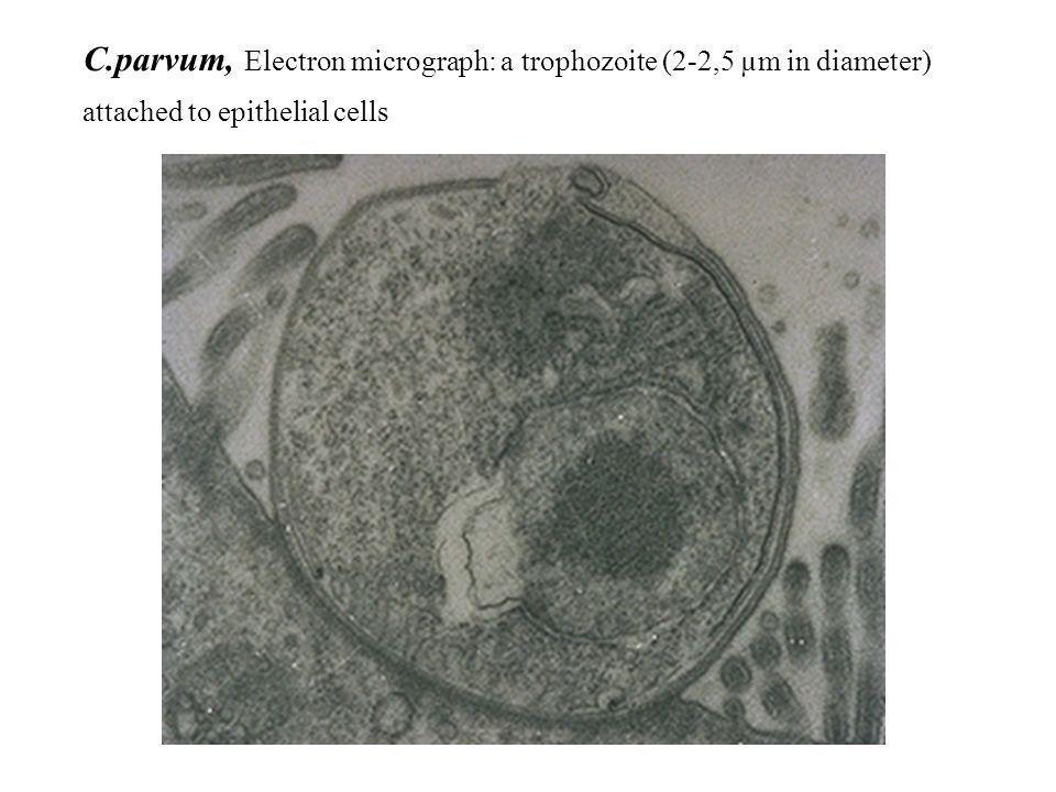C.parvum, Electron micrograph: a trophozoite (2-2,5 µm in diameter)