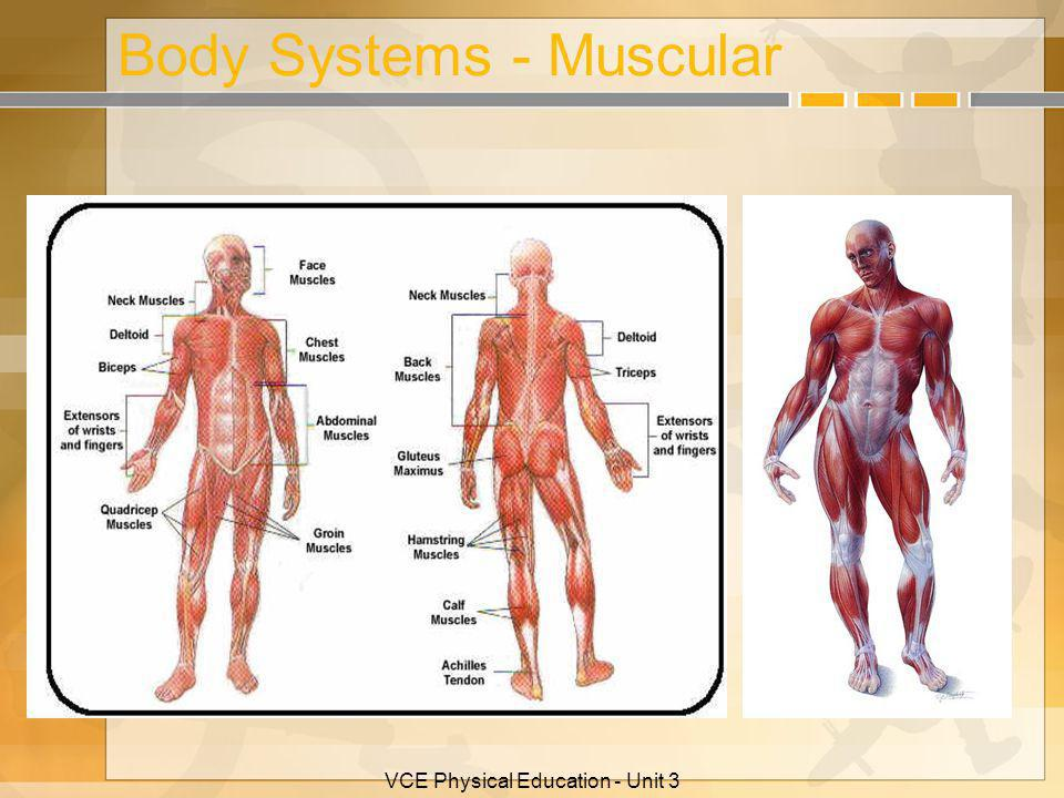 Body Systems - Muscular