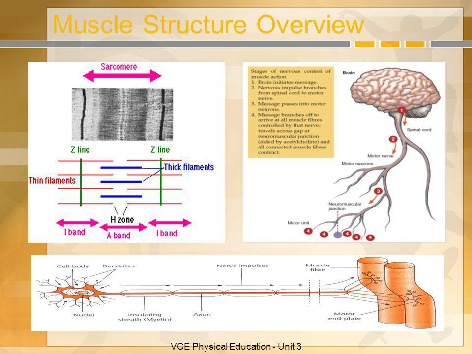 Muscle Structure Overview