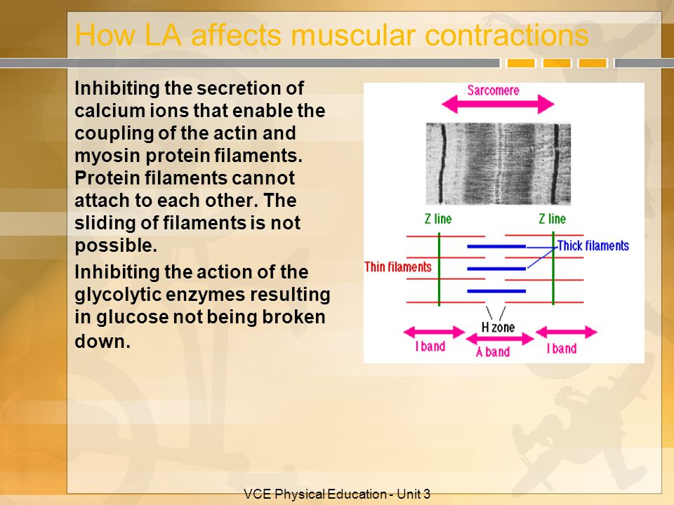 How LA affects muscular contractions