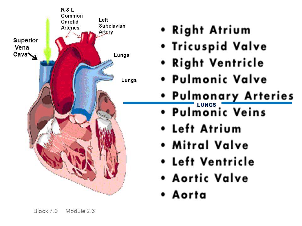 Superior Vena Cava Block 7.0 Module 2.3 R & L Common Carotid Arteries