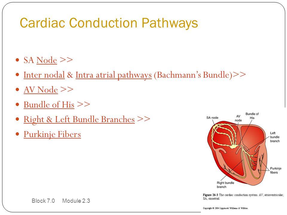 Cardiac Conduction Pathways