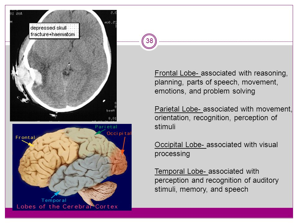 Frontal Lobe- associated with reasoning, planning, parts of speech, movement, emotions, and problem solving