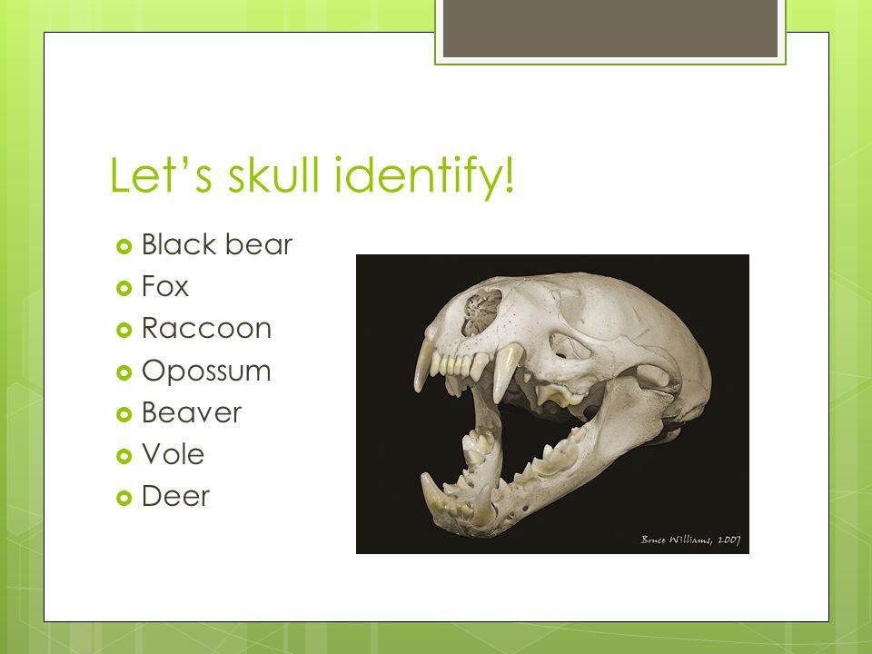 Let's skull identify! Black bear Fox Raccoon Opossum Beaver Vole Deer
