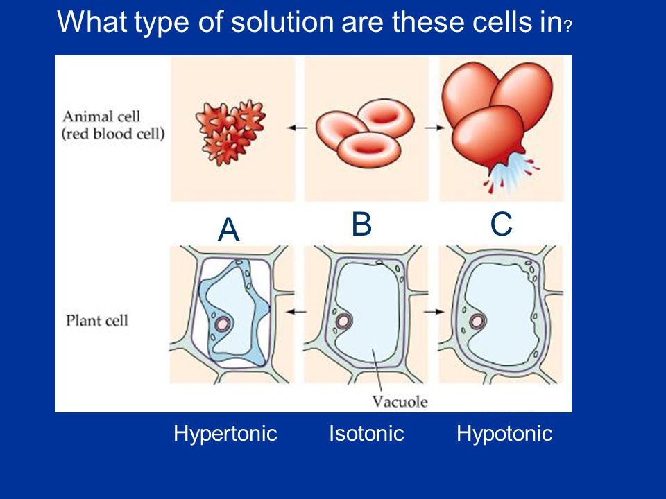 B C A What type of solution are these cells in Hypertonic Isotonic