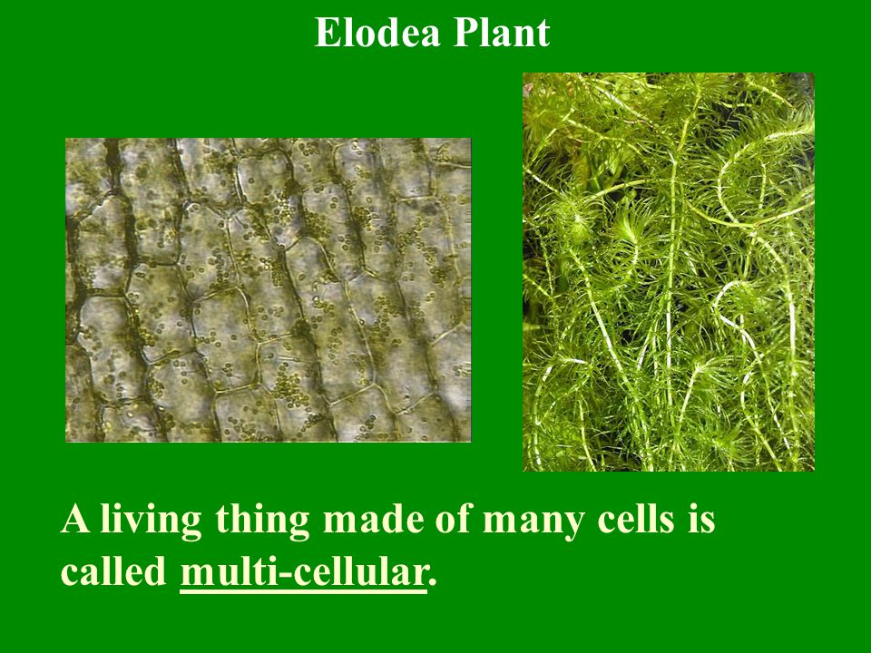 Elodea Plant A living thing made of many cells is called multi-cellular.
