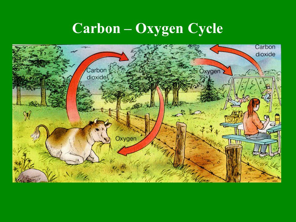 Carbon – Oxygen Cycle