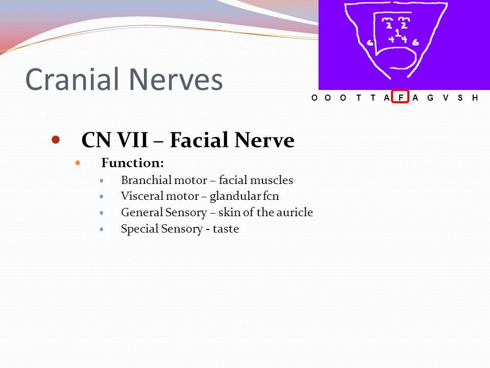 Cranial Nerves CN VII – Facial Nerve Function: